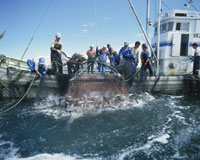 サケ漁 25636002010| 写真素材・ストックフォト・画像・イラスト素材|アマナイメージズ