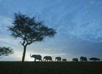 象の群れ 25654010159| 写真素材・ストックフォト・画像・イラスト素材|アマナイメージズ