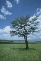 アカシヤの木 25654011029| 写真素材・ストックフォト・画像・イラスト素材|アマナイメージズ