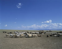 羊の群れとラクダ