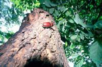 クヌギにカブト虫 25666001652| 写真素材・ストックフォト・画像・イラスト素材|アマナイメージズ