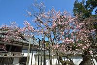 瑞巌寺の臥龍梅(県指定天然記念物)