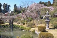 鹽竈神社境内の満開の桜と庭園