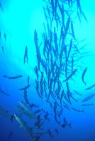 ブラックフィンバラクーダ(オオカマス)の群れ