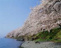 海津大崎の桜 琵琶湖