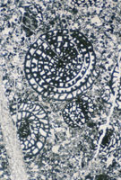 フズリナ石灰岩 岩石