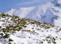 雷鳥(冬羽) 立山