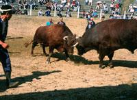 牛の角突き 闘牛