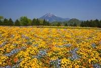 ビオラと大山 とっとり花回廊