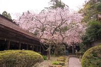桜満開の吉野分水神社