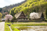 世界遺産 桜咲く菅沼合掌造り集落