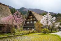 白川郷 桜満開の萩町合掌造り集落