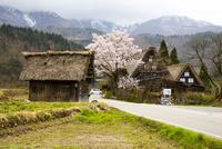 白川郷 桜と萩町合掌造り集落