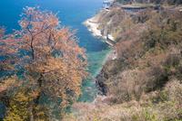 桜と親不知海岸