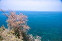 桜咲く親不知海岸と日本海