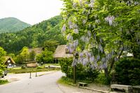 世界文化遺産 フジの花咲く白川郷合掌造り集落
