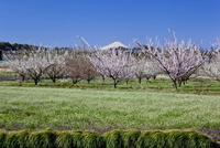 花咲く梅畑と富士山 見沼田んぼ