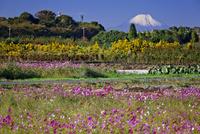 コスモス咲く見沼田んぼと富士山