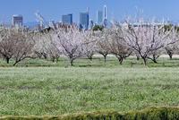 シロツメクサと梅の畑とさいたま新都心ビル群 見沼田んぼ 25722002896  写真素材・ストックフォト・画像・イラスト素材 アマナイメージズ