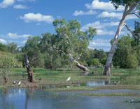 カカドゥ国立公園 湿原の野鳥ダーウィンの東