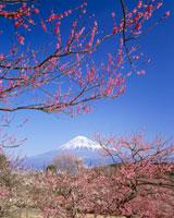 岩本山公園より望む富士と梅