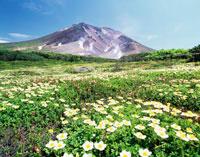 大雪山旭岳チングルマの花