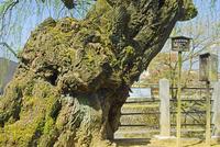 高山市の保存木・柳の古木