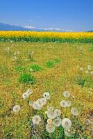 安曇野の菜の花畑と北アルプス 25747021144| 写真素材・ストックフォト・画像・イラスト素材|アマナイメージズ