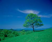 草原と一本の木 クヌギ 25778000646| 写真素材・ストックフォト・画像・イラスト素材|アマナイメージズ