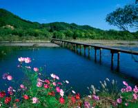 コスモス咲く四万十川