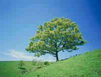 草原と新緑の木(クヌギ)  阿蘇 25778015951| 写真素材・ストックフォト・画像・イラスト素材|アマナイメージズ