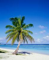 海辺のヤシの木
