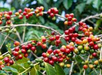 コナ・コーヒーの豆