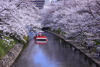 松川の桜と遊覧船