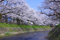 松川の桜とサギ