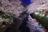 松川の夜桜