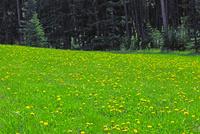 タンポポ草地
