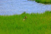 野生動物のコヨーテ 25801014716| 写真素材・ストックフォト・画像・イラスト素材|アマナイメージズ