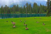 カナダの野鳥カナダガン 25801014917  写真素材・ストックフォト・画像・イラスト素材 アマナイメージズ
