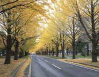 北海道大学いちょう並木 25802004157| 写真素材・ストックフォト・画像・イラスト素材|アマナイメージズ