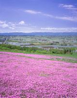 芝桜咲くキトウシ山と上川盆地の水田地帯