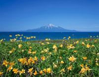 海岸の花畑と利尻山