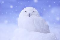 シロフクロウと雪