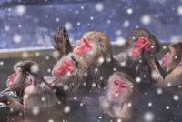 温泉とニホンザル 25802013882| 写真素材・ストックフォト・画像・イラスト素材|アマナイメージズ
