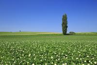 ポプラの木とジャガイモの花