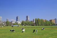 牧場の牛とビル群