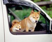 柴犬 25805001844| 写真素材・ストックフォト・画像・イラスト素材|アマナイメージズ