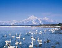 猪苗代湖の白鳥と磐梯山