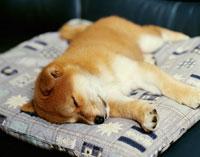 シバ犬の仔犬