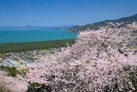 サクラ咲く鏡山と虹の松原